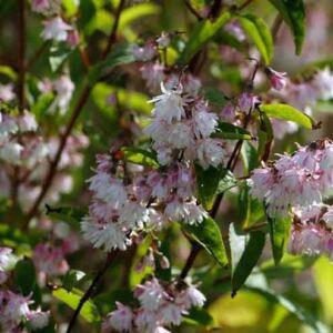 Deutzia 'Rosea Plena' – Rózsaszín virágú gyöngyvirágcserje