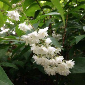 Deutzia scabra 'Candidissima' – Fehér virágú gyöngyvirágcserje