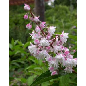 Deutzia scabra 'Codsall Pink' – Érdes levelű gyöngyvirágcserje