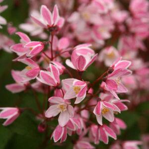 Deutzia 'Yuki Cherry Blossom' – Gyöngyvirágcserje
