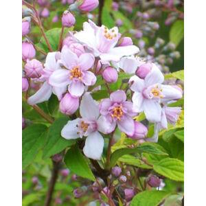 Deutzia hybrida 'Mont Rose' - Érdeslevelű gyöngyvirágcserje