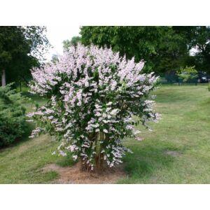 Deutzia scabra 'Plena' - Fehér, teltvirágú gyöngyvirágcserje