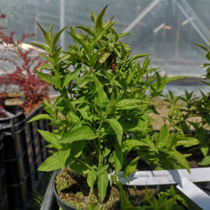 Diervilla sessilifolia 'Butterfly' - Kénszínű sárgalonc