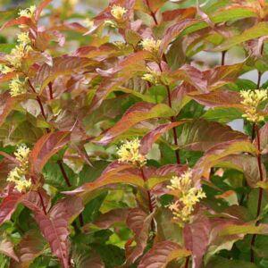Diervilla sessilifolia 'Dise' – Keskenylevelű sárgalonc