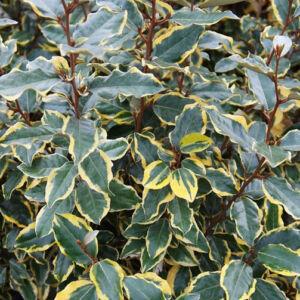 Elaeagnus ebbingei 'Viveleg' – Széleslevelű ezüstfa
