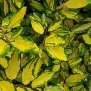 Elaeagnus pungens 'Maculata Aurea' – Tarkalevelű ezüstfa