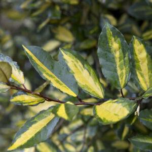 Elaeagnus pungens 'Maculata' – Tarkalevelű ezüstfa