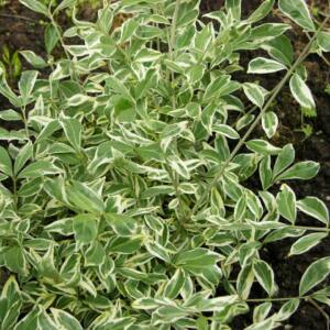 Euonymus alatus 'Silver Cloud' – Szárnyas kecskerágó