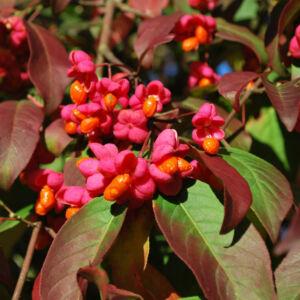 Euonymus europeus 'Red Cascade' – Csíkos kecskerágó