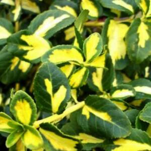 Euonymus fortunei 'Blondy'® – Sárga-tarka levelű kecskerágó