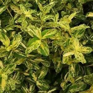 Euonymus fortunei 'Golden Harlequin' – Sárga-zöld kúszó kecskerágó