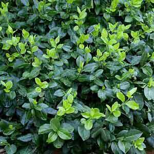 Euonymus fortunei 'Hort's Blaze' – Zöld, talajtakaró kecskerágó
