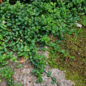 Euonymus fortunei 'Minimus' – Aprólevelű, zöld talajtakaró kecskerágó