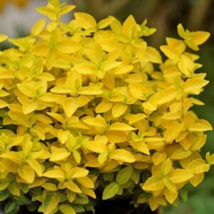 Euonymus fortunei 'Waldbowii Goldy' – Kúszó kecskerágó