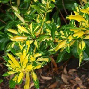 Euonymus japonicus 'Aureus' – Sárga-tarka levelű japán kecskerágó