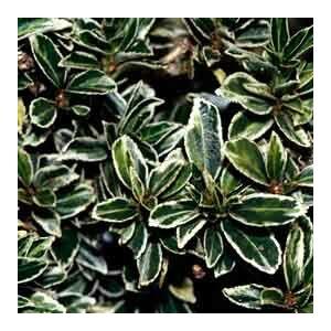 Euonymus japonicus 'Microphyllus' – Kislevelű japán kecskerágó