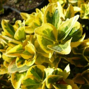 Euonymus japonicus 'Ovatus Aureus' – Aranytarka japán kecskerágó