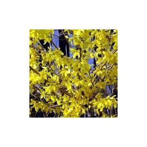 Forsythia  x intermedia 'Flojor (Minigold)' – Törpe aranycserje