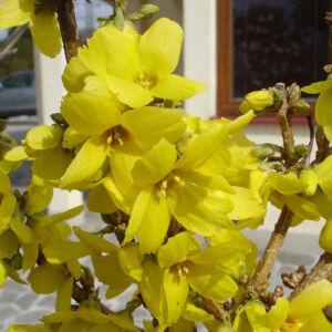 Forsythia  x intermedia 'Goldrausch' – Aranycserje