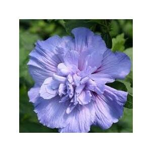Hibiscus syriacus 'Blue Chiffon' - Mályvacserje