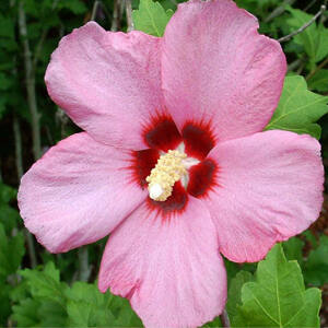 Hibiscus syriacus 'Aphrodite' – Mályva színű mályvacserje