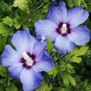 Hibiscus syriacus 'Coelestis' – Mályvacserje