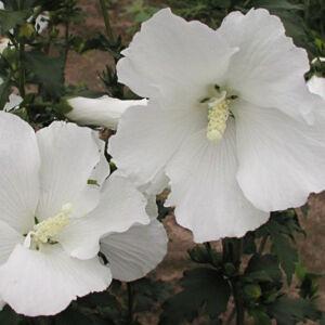 Hibiscus syriacus 'Eleonore' – Fehér virágú mályvacserje