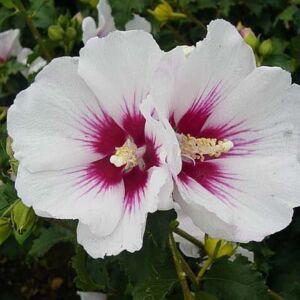 Hibiscus syriacus 'Helene' – Fehér virágú mályvacserje