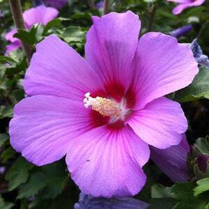 Hibiscus syriacus 'Minerva'– Mályvacserje