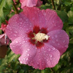 Hibiscus syriacus 'Pink Giant' – Ciklámen színű mályvacserje
