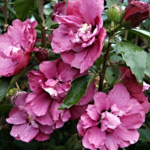 Hibiscus syriacus 'Puniceus Plenus' – Mályvacserje