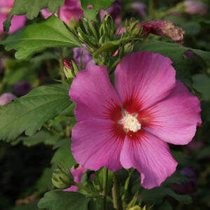 Hibiscus syriacus 'Russian Violet' – Mályvacserje