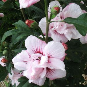 Hibiscus syriacus 'Salima' – Rózsaszín virágú mályvacserje