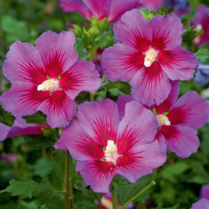 Hibiscus syriacus 'Vino Rosso' – Mályvacserje