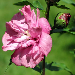 Hibiscus syriacus 'Waltraud' – Telt, sötét rózsaszínű mályvacserje