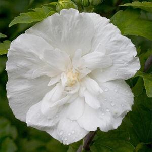 Hibiscus syriacus 'White Chiffon' – Fehér virágú mályvacserje