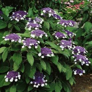 Hydrangea aspera – Érdes levelű hortenzia