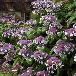 Hydrangea aspera 'Macrophylla' – Érdes levelű hortenzia