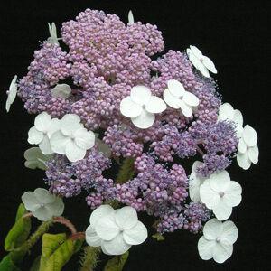 Hydrangea aspera 'Sargenteana' – Érdes levelű hortenzia