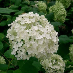 Hydrangea arborescens 'Annabelle' – Fehér gömb virágú cserjés hortenzia