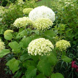 Hydrangea arborescens 'Bounty' – Cserjés hortenzia
