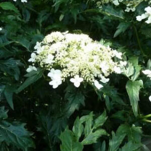 Hydrangea arborescens 'Emerald Lace' – Cserjés hortenzia