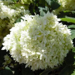 Hydrangea arborescens 'Hayes Starburst' – Cserjés hortenzia