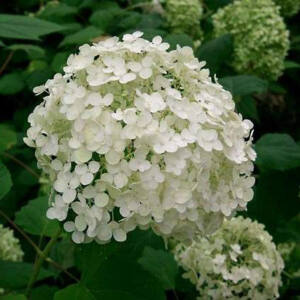 Hydrangea arborescens 'Hills of Snows' – Fehér gömb virágú cserjés hortenzia