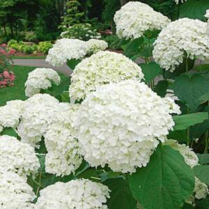 Hydrangea arborescens 'Incrediball' – Cserjés hortenzia