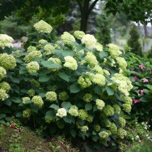 Hydrangea arborescens 'Lime Rickey' – Cserjés hortenzia