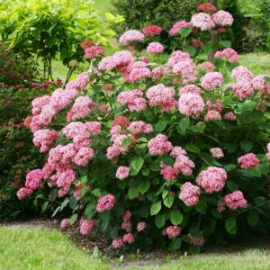Hydrangea arborescens 'Pink Annabelle' – Cserjés hortenzia