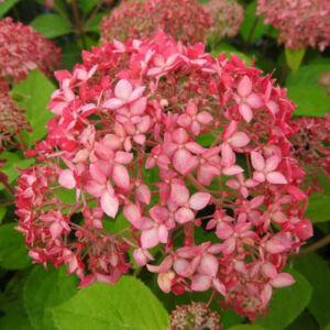 Hydrangea arborescens 'Pink Percusion' – Rózsaszín ernyős virágú cserjés hortenzia