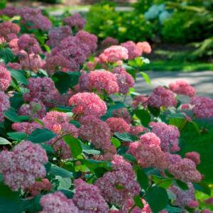 Hydrangea arborescens 'Pink Pin Cushion' – Cserjés hortenzia