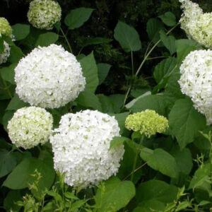 Hydrangea arborescens 'Sheep Cloud' – Cserjés hortenzia